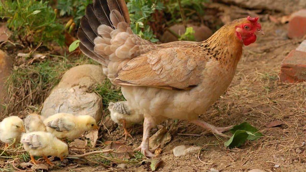 gallinas en jaulas