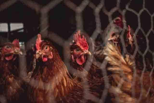 Gripe Aviar 2021 Es seguro comer huevos y pollo