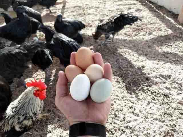 producción de huevos en Nueva York